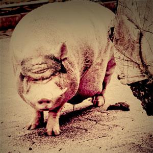 schwein_gehabt01